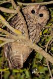 Allocco , Tawny owl