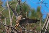 Gheppio , Common kestrel