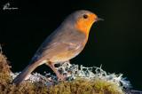 Pettirosso , Robin