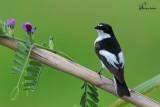 Balia nera , Pied flycatcher