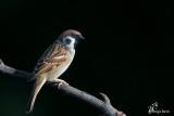 Passera mattugia ,Eurasian tree sparrow