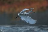 Garzetta , Little egret