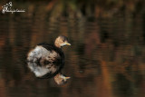Tuffetto , Little grebe