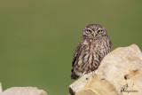 Civetta, Little owl