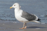 taimyrnesis or intergrade with Vega Gull or a Hybrid between American Gull Species