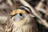 Towhees, Sparrows, Grosbeaks, Tanagers, Buntings & Dickcissel