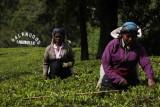 Wokers at a tea plantation
