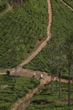 Tea plantation along A2