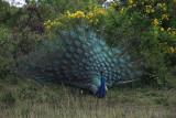 Peacock at Yala