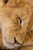Lion cub, Lion Safari Park