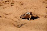 Suricata, Lion Safari Park