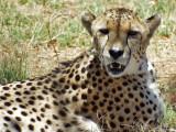 Cheetah, Lion Safari Park