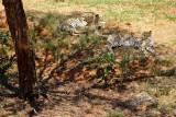 Cheetahs, Lion Safari Park
