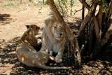 Lions, Lion Safari Park