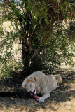 Lion, Lion Safari Park