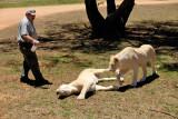 Lionesses, Lion Safari Park