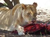 Lioness, Lion Safari Park
