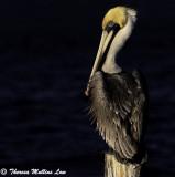 3124 Pelican