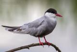 Whiskered Tern (Mignattino piombato)