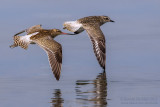 Bar-tailed Godwit (Limosa lapponica) and Grey Plover (Pluvialis squatarola)
