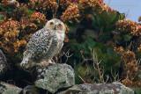 Snowy Owl (Gufo delle nevi)