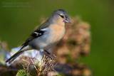Azores Chaffinch (Fringilla coelebs moreletti)