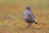 American Buff-bellied Pipit (Anthus rubescens rubescens)