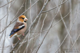 Frosone; Hawfinch; Coccothraustes coccothraustes