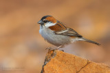 Iago Sparrow (Passero di Capo Verde)