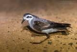 White-faced Storm Petrel (Uccello delle tempeste facciabianca)
