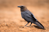 Brown-necked Raven (Corvus ruficollis)