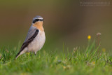 Northern Wheatear (Culbianco)