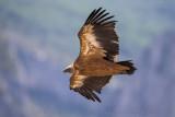 Griffon Vulture (Grifone)