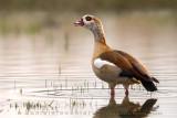 Egyptian Goose (Oca egiziana)