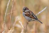 House Sparrow (Passera oltremontana)