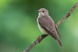 Spotted Flycatcher (Pigliamosche)