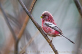 Long-tailed Rosefinch (Uragus sibiricus)