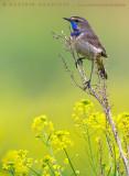 Bluethroat (Luscinia svecica svecica)