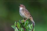 Lanceolated Warbler (Locustella lanceolata)