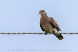 Rufous Turtle Dove (Tortora orientale)