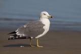 Black-tailed Gull (Gabbiano codanera)