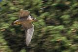 Peregrine (Falco pellegrino)