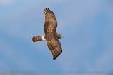 Hen Harrier (Albanella reale)