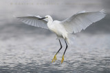 Litte Egret (Egretta garzetta)