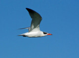 caspian_tern_flight