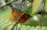 Cercomacra nigriscens female.jpg