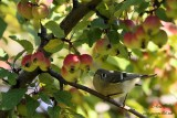 Roitelet à couronne rubis - Ruby-crowned Kinglet - 1 photo