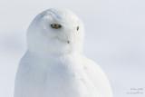 Harfang des neiges mâle tout blanc - portrait #8217.jpg