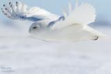 Harfang des neiges mâle tout blanc - en vol #8295.jpg