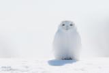 Harfang des neiges mâle tout blanc #8203.jpg